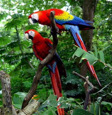 Carara-National-Park-Scarlet-Macaw