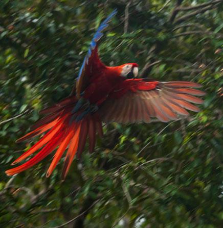 Scarlet-Macaw-Costa-Rica-Birdwatching-Paradise