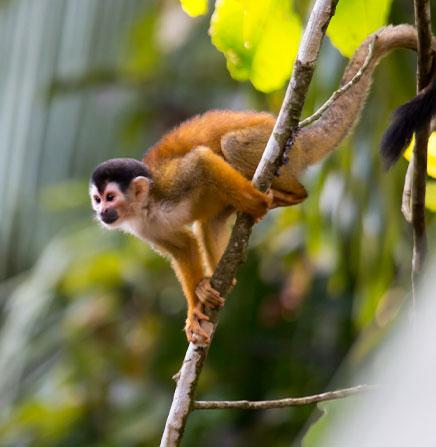 Monkeys of Costa Rica.