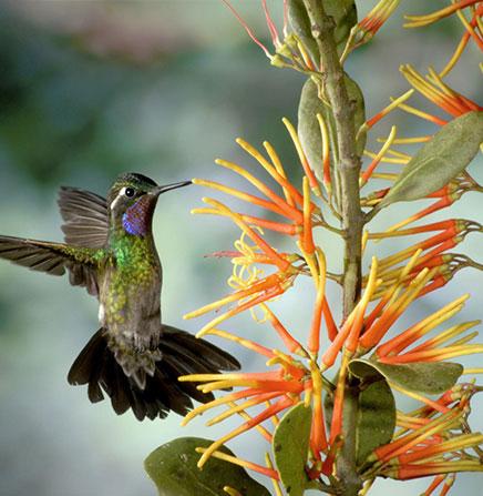 Purple-throated-hummingbird-at-Monteverde
