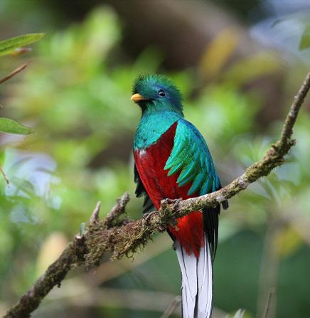 Quetzal-Resplendent-Bird-Costa-Rica