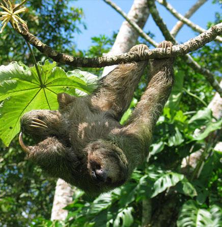 Sloth-Arenal-Volcano-Costa-Rica.