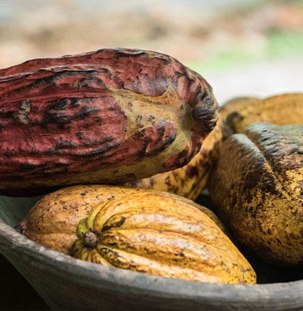 cacao-tree-chocolate-tour-costa-rica
